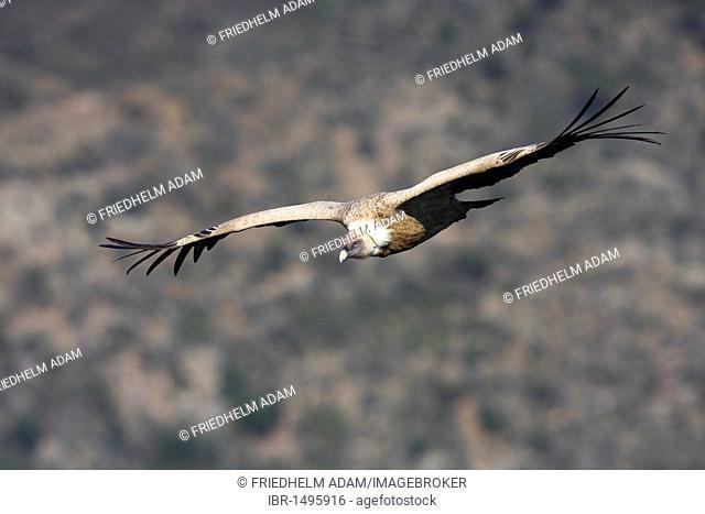 Griffon Vulture (Gyps fulvus) in flight, Monfrague National Park, Spain, Europe