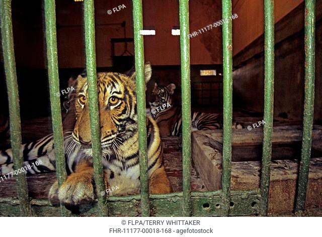 Indo-Chinese Tiger Panthera tigris corbetti born at Hanoi Zoo, has breeding programme but kept in indoor cage due to limited space, Vietnam