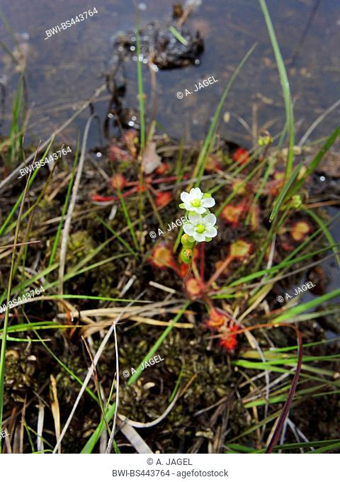 round-leaved sundew, roundleaf sundew (Drosera rotundifolia), blooming on the waterside of a mire pond, Germany, Lower Saxony