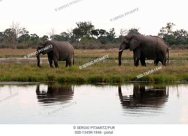 African elephants Loxodonta africana at a waterhole, Savuti Channel, Linyanti, Botswana