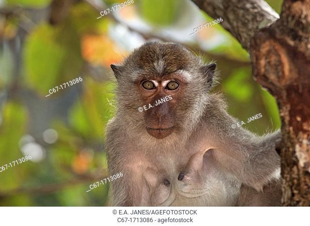 Crab-eating Macaque Macaca fasdicularis on beach Southern Thailand