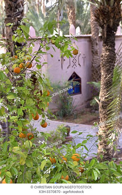 orange trees in the gardens of Riad Lamane in the palm grove of Zagora, Draa River valley, Province of Zagora, Region Draa-Tafilalet, Morocco, North West Africa
