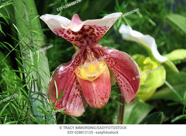 Close up of a maroon, yellow and white Lady's Slipper Orchid in full bloom