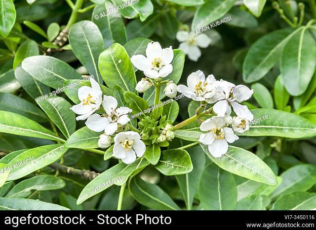Laurel Cherry / Prunus laurocerasus 'Nana'