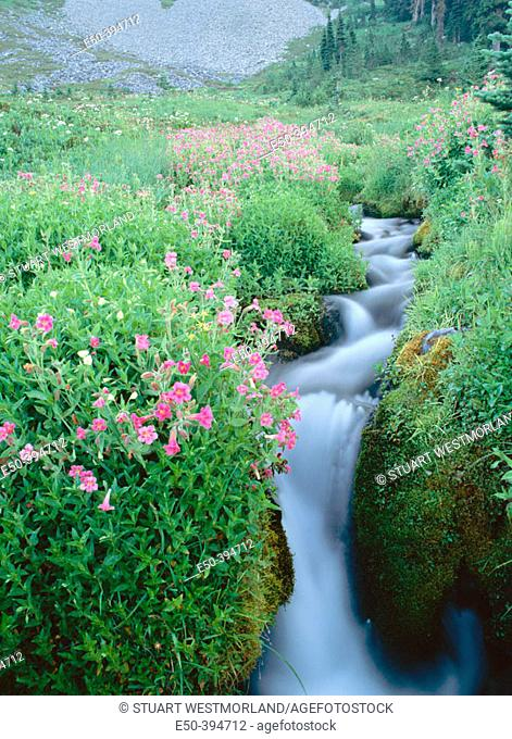 Pink monkey flowers with rushing stream. Mount Rainier National Park. Washington. USA