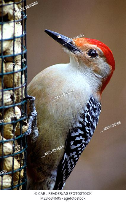 Red bellied Woodpecker (Melanerpes Carolinus), checks out the peanuts offered in a feeder, Pennsylvania, USA