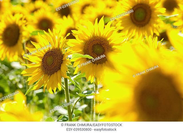Czech Republic, Southern Bohemia - Field of Sunflowers