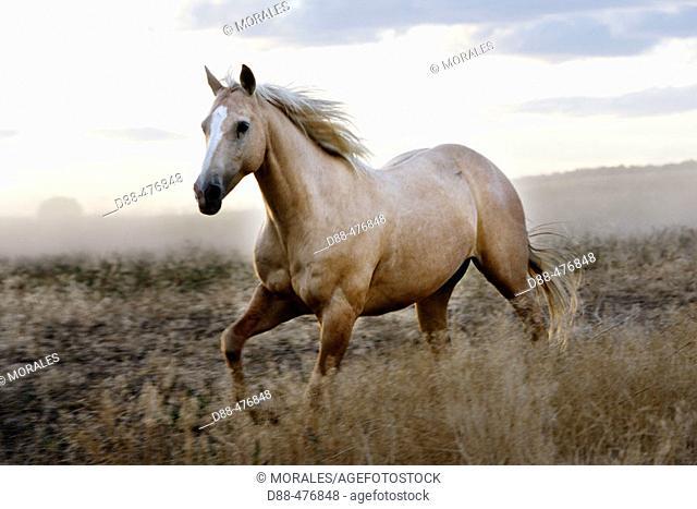 'Quarter horse' and/or 'Paint' of USA. Ponderosa Ranch. Seneca. Oregon . USA