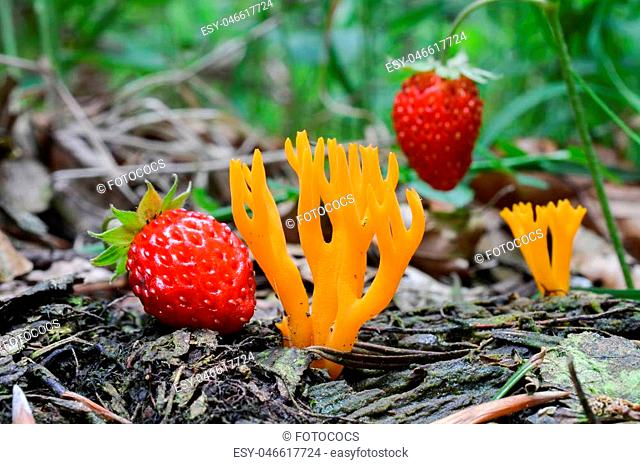 Calocera viscosa or Yellow Stagshorn mushroom in natural habitat, in the company of wild, ripe strawberries