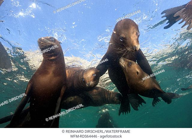 California Sea Lion, Zalophus californianus, San Benito Island, Mexico