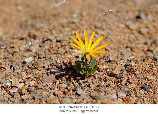 Arctotis sp., Richtersveld Nationalpark, Südafrika / Arctotis sp., Richtersveld Transfrontier National Park, South Africa
