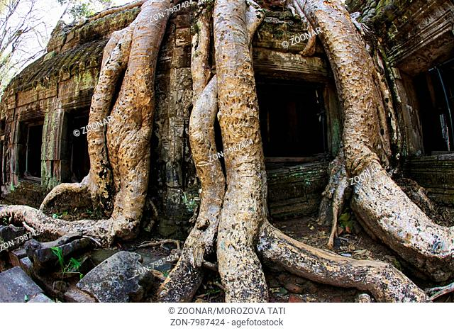 Jungle tree covering the stones of the temple of Ta Prohm in Angkor Wat, Siem Reap, Cambodia