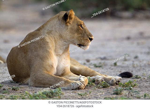 Lion (Panthera leo) - Female, Chobe National Park, Botswana