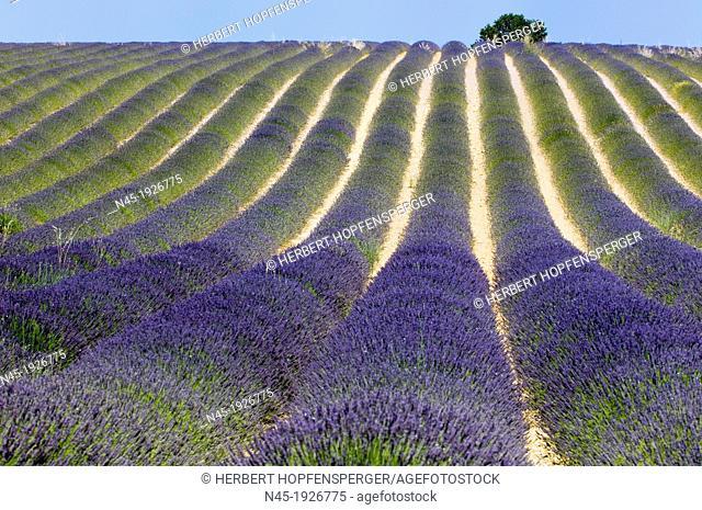 Lavender; Lavender Field; Landscape; Scenery; Provence; France