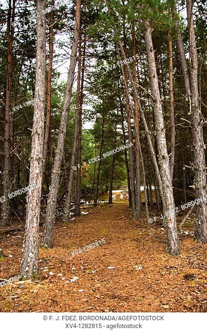 Viros Forest in the Alt Pirineu Nature Park  Val de Cardos  Pallaras Sobira  Lleida Pyrenees  Catalonia  Spain