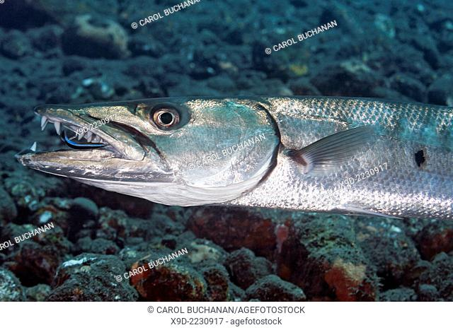 A Great Barracuda, Sphyraena barracuda, having its teeth cleaned by a Blue Streak Cleaner Wrasse, Labroides dimidiatus. Tulamben, Bali, Indonesia