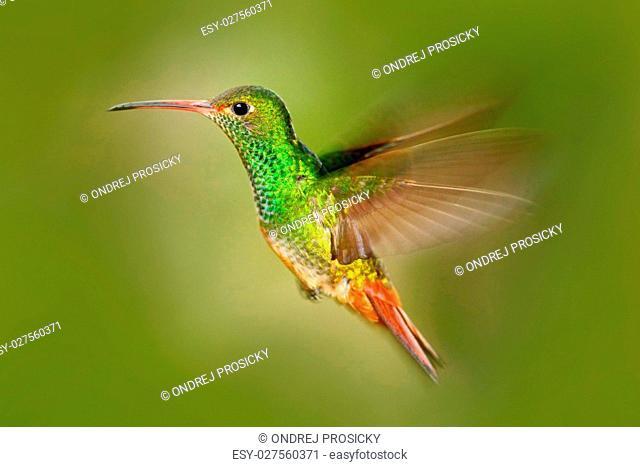 Hummingbird Rufous-tailed Hummingbird