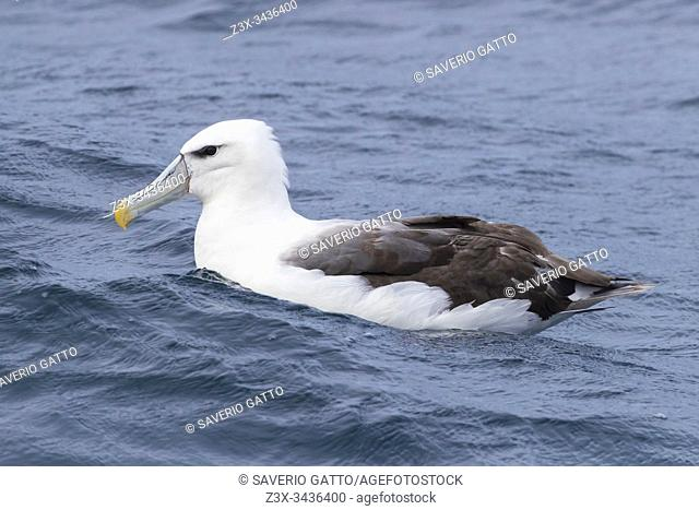 Shy Albatross (Thalassarche cauta), immature swimming on the water surface, Western Cape, South Africa