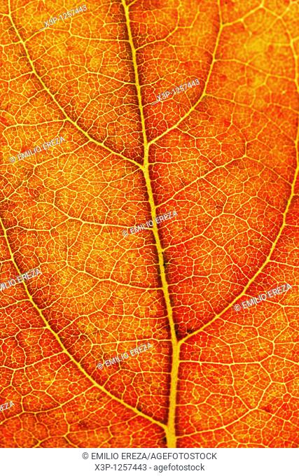Persimmon leaf in autumn  Dyospiros kaki