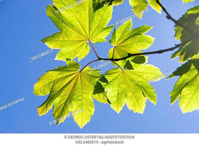 Vine maple leaf, Tucker County Park, Hood River County, Oregon