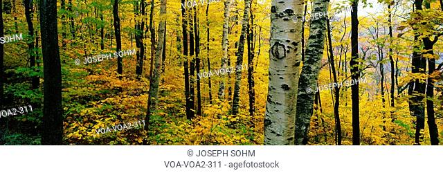 This is the Greylock State Reservation. It shows birch and maple trees with autumn color