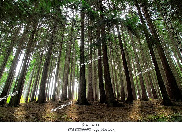 Norway spruce (Picea abies), spruce forest in backlight, Germany, Saxony-Anhalt, Harz