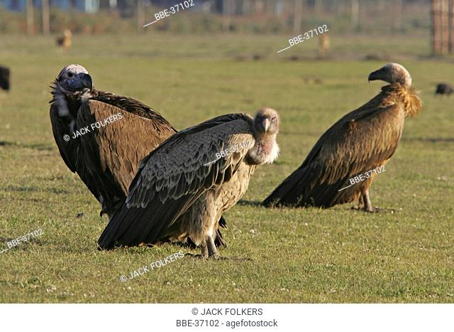 Lappet-faced Vulture (Torgos trachelotus), African white-backed Vulture (Gyps africanus) and Ruppels Griffon Vulture (Gyps ruepellii)