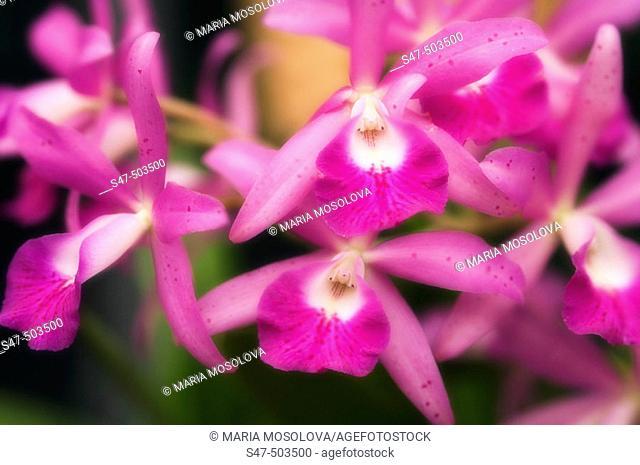 Laeliocattleya hybrid. Maryland, USA