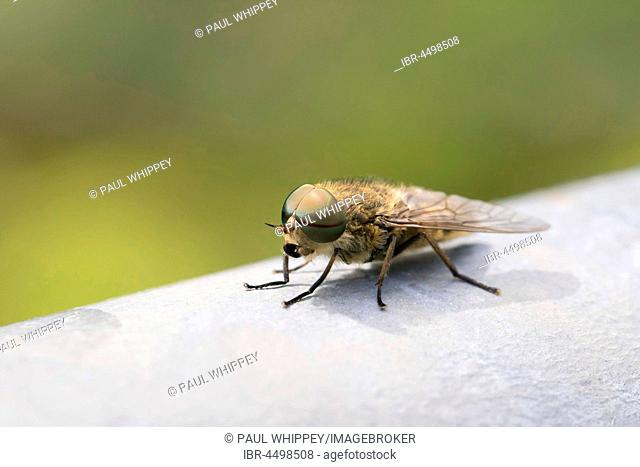 Common Horse Fly (Haematopota pluvialis), male, on metal gate, South Wales, United Kingdom