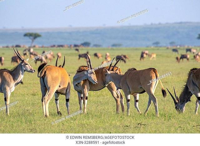 Common eland (Taurotragus oryx) gather together in field in the Maasai Mara National Reserve, Kenya