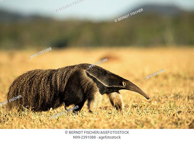 Giant anteater (Myrmecophaga tridactyla), walking in dry farmland, Mato Grosso do Sul, Brazil