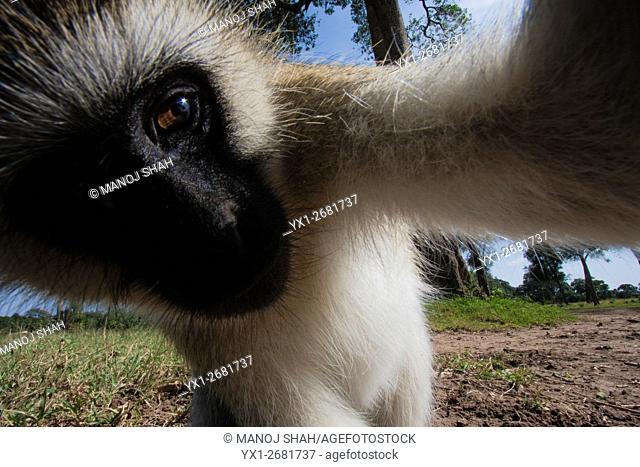 Vervet monkey poking his nose into a remote camera, Masai Mara National Reserve, Kenya