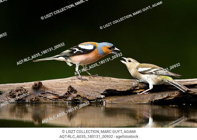 Common Chaffinchs in fight