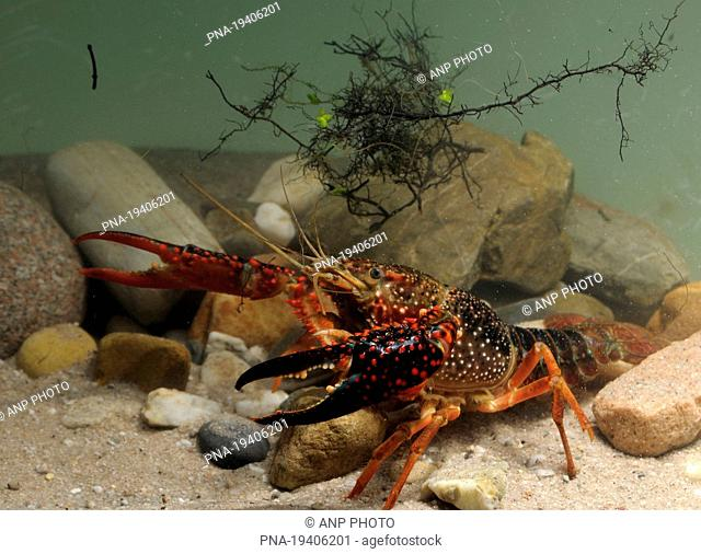 Red swamp crayfish Procambarus clarkii