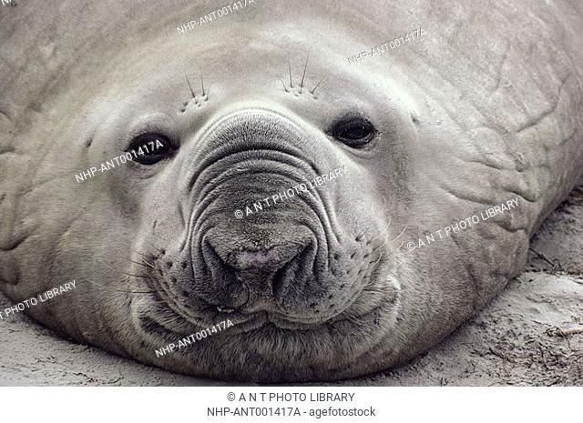 SOUTHERN ELEPHANT SEAL Mirounga leonina face detail