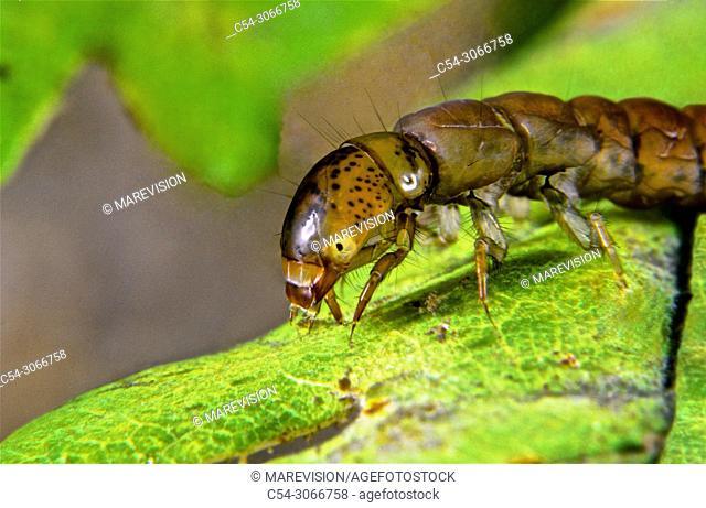 Freshwater Rivers. Arthropod. Aquatic insect. Caddisfly (Plectrocnemia laetabilis). Tea river. Galicia. Spain. Europa