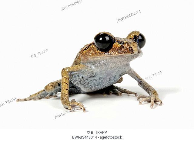 Java Spadefoot Toad, Hasselt's Litter Frog, Tschudi's Frog (Leptobrachium hasseltii), front view, cutout, Indonesia