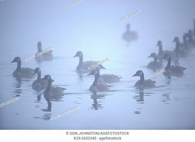 Canada goose (Branta canadensis) Gaggle in fog, Greater Sudbury, Ontario, Canada