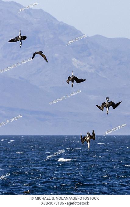 Blue-footed boobies, Sula nebouxii, in feeding frenzy, Isla San Marcos, Baja California, Mexico