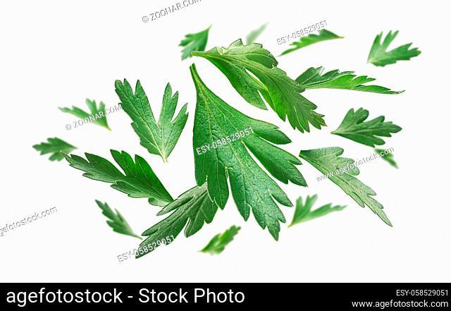 Green parsley leaves levitate on a white background