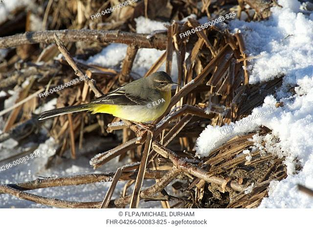 Grey Wagtail Montacilla cinerea adult, perched on snow covered vegetation at edge of frozen river, River Nith, Dumfries and Galloway, Scotland, december