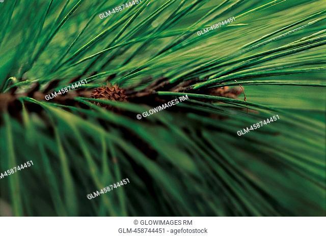 Close-up of pine tree needles