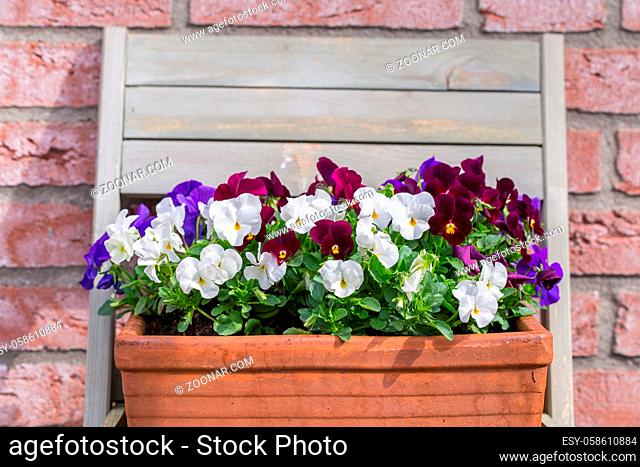 Multicolored pansy in a basket in the garden