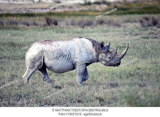 Black rhinoceros in the savannah landscape of the Etosha National Park, taken on 05.03.2019. The Black Rhinoceros (Diceros bicornis) is an open savannah and the...