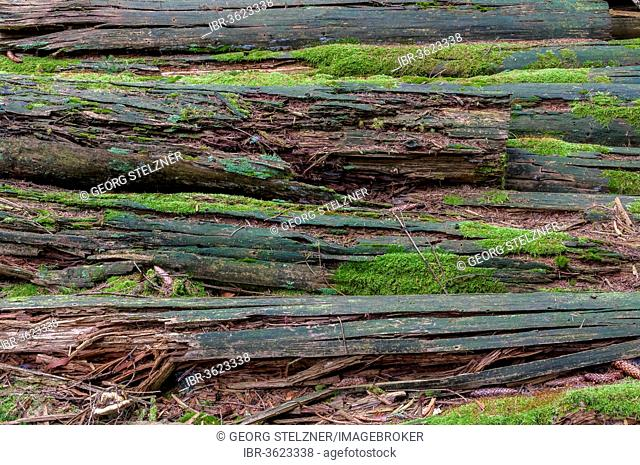 Rotted tree trunks, Hesse, Germany