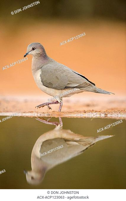 White-tipped Dove (Leptotila verreauxi), Santa Clara Ranch, Starr County, Texas, USA