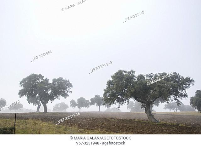Meadow in the mist. Los Pedroches valley, Cordoba province, Andalucia, Spain