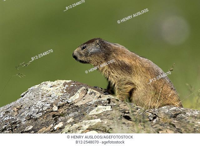 Alpine Marmot (Marmota marmota), France