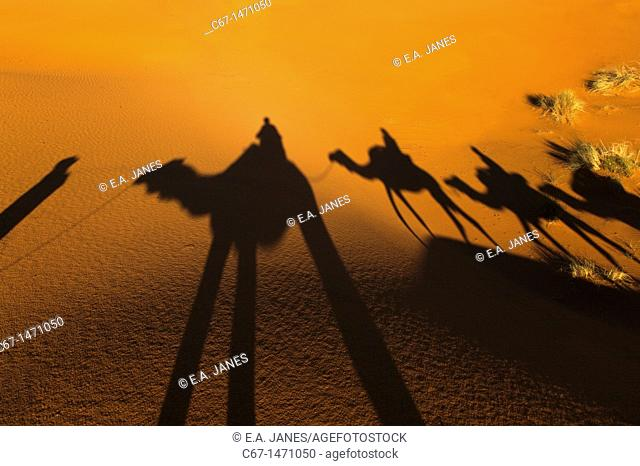 Camal Shadow Erg Chebbi Dunes Sahara Desert Morocco North Africa March