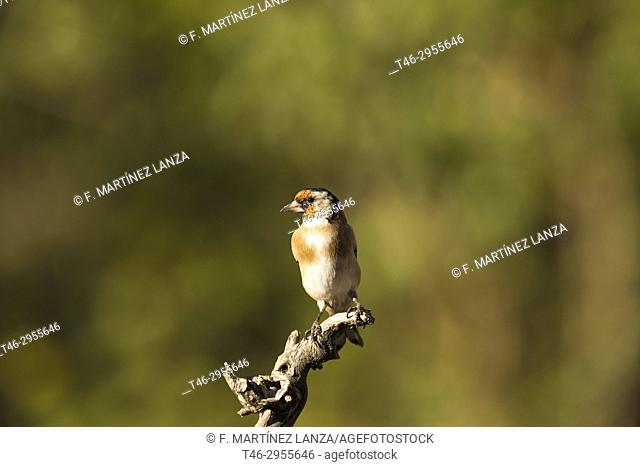 European goldfinch (Carduelis carduelis). Sierra de Guadarrama, Madrid province, Spain